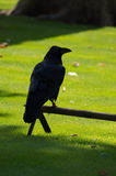 A roosted raven Royalty Free Stock Photography