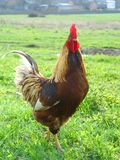 Rooster 1 Stock Image