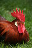 Rooster. Domestic rooster royalty free stock photography