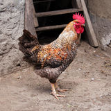 Rooster. On barnyard Royalty Free Stock Image