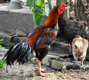 Rooster. Image of indian fighting rooster with hen Stock Image