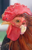 Rooster. Present in all fams Royalty Free Stock Photography