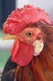 rooster Royaltyfri Fotografi