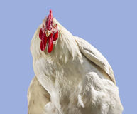 Rooster. White rooster isolated on blue background Stock Photo