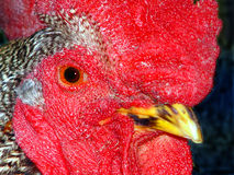 Rooster. Closeup of roooster royalty free stock photography