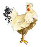 Rooster. Domestic rooster. Vector illustration isolated on white background vector illustration