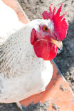 Rooster Stock Images