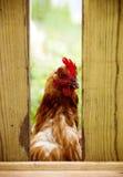 rooster Royaltyfria Bilder