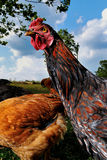 Rooster 1a Stock Photography
