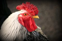 Rooster. A close up photo of a roosters head Stock Photo