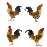 rooster Arkivbilder