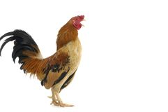 Free Rooster Royalty Free Stock Image - 22093726