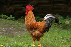 rooster Arkivfoton