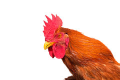Rooster. Head isolated on white background Stock Photo