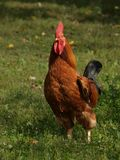 Rooster. At the countryside Stock Photo