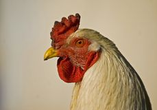 Rooster. Close up on a rooster head in the farm Stock Image