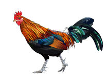 Free Rooster Royalty Free Stock Photos - 45686928