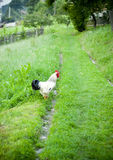 Rooster. A rooster on grass field in summer Royalty Free Stock Photo