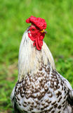 Rooster. With the reg crown, green grass Stock Photography