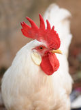 Rooster. Male chicken red hood white feathers Royalty Free Stock Images