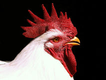 Rooster. A rooster Royalty Free Stock Images