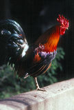 Rooster. Resting on fence on  one leg Royalty Free Stock Image
