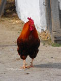 Rooster. An adult rooster with the white walls of a peasant's house as background Royalty Free Stock Photo