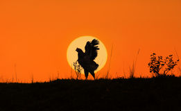 Rooster against sunlight Stock Photos