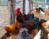 Rooster amidst flock Royalty Free Stock Image