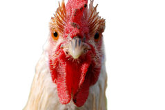 Rooster with attitude Royalty Free Stock Photography