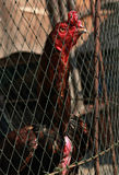 Rooster in Bangkok, Thailand. Sunny day with caged rooster in Bangkok, Thailand Stock Photos