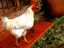 Beatiful Rooster Stock Image