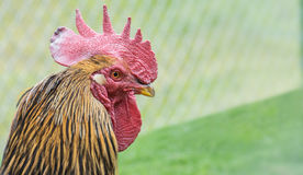 Rooster Royalty Free Stock Image