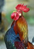 Rooster. Beautiful decorative rooster on the farm in the spring Royalty Free Stock Photos