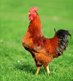 Rooster. Beautiful Rooster in grass on a farm Royalty Free Stock Image