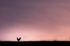 Rooster bij de prairie tijdens zonsondergang Stock Afbeelding