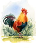 Rooster Bird Watercolor Illustration Hand Drawn Royalty Free Stock Photography