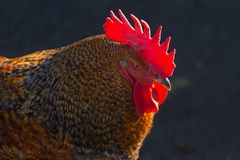 Rooster on a black background.  Stock Images