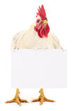 Rooster with blank Stock Image