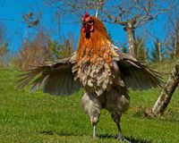 Rooster of the breed Hedemora, make themselves impressive. The breed is a very old hardy breed in Sweden. The breed has double springs on each pen, which makes Royalty Free Stock Photography