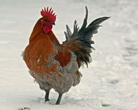 A rooster breed Hedemora, out on days of snow and cold. The breed is a very old hardy breed in Sweden. The breed has double springs on each pen, which makes stock photography