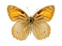 Rooster Bruine vlinder stock foto