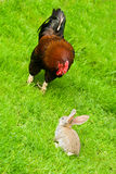 Rooster and bunny Stock Photos
