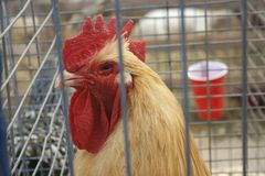 Rooster in a Cage Royalty Free Stock Images