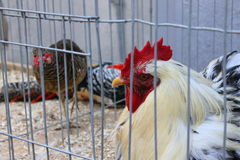 Rooster in a cage Royalty Free Stock Image
