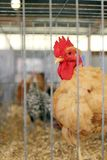 Rooster in Cage at County Fair Royalty Free Stock Images