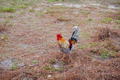 Rooster. Cage free rooster at the USF campus. taken in Florida Royalty Free Stock Image