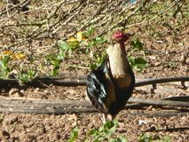 A rooster at Campanet village stock photography