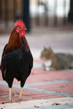 Rooster and Cat. A proud rooster poses humorously for the camera as a cat sleeps lazily in the background Stock Photo