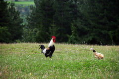 Rooster and chicken Royalty Free Stock Image